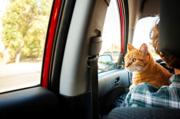 a cat in a car looking out